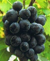 Blackbeet_grape
