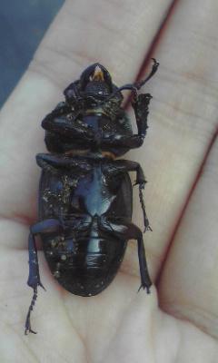 何かの甲虫のメス