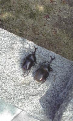 カブトムシの鳥葬