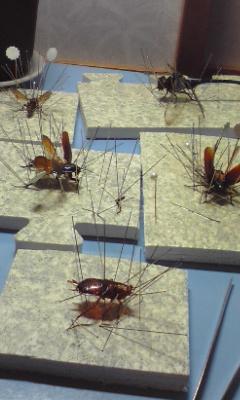 【トレフェスin有明8】ゴキブリの標本とか